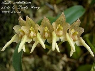Specific name bulbophyllum umbellatum