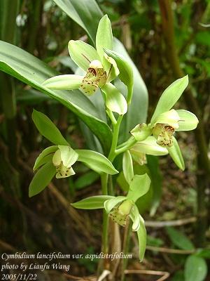 ��������� cymbidium lancifolium aspidistrifolium