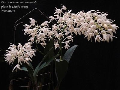 兰科植物 - 枫叶 - 枫叶