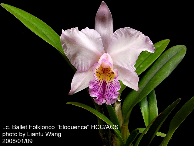 Laelia gouldiana further Blchybrid241 likewise Child Styled additionally Pet Birds additionally Sonnyalexanderflorists. on orchid flowers