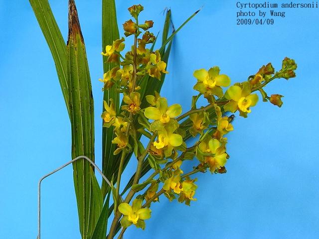 国家重点保护野生植物——牛角兰